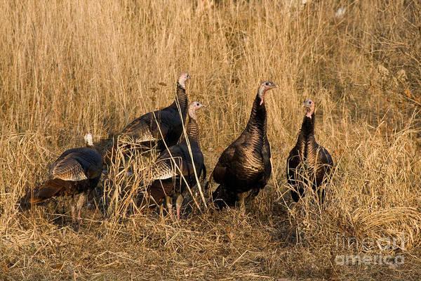 Meleagris Gallopavo Photograph - Eastern Wild Turkeys by Linda Freshwaters Arndt