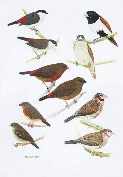 Woodcock Photograph - Estrildid Finches by Natural History Museum, London/science Photo Library