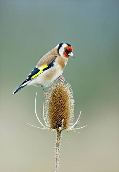Wall Art - Photograph - European Goldfinch by John Devries/science Photo Library