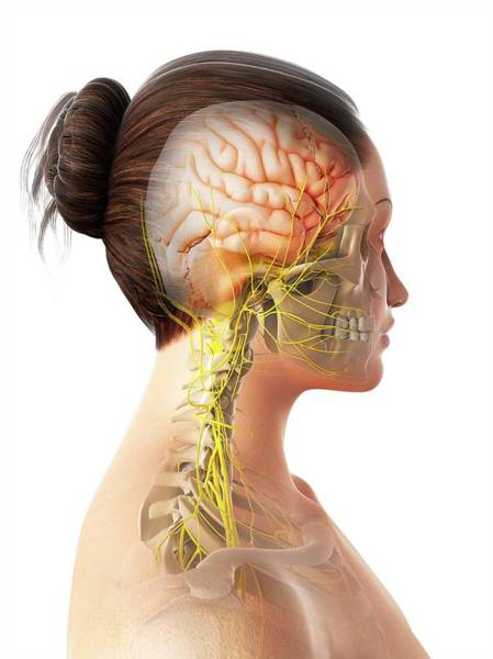 Head And Shoulders Photograph - Female Nervous System by Sciepro/science Photo Library
