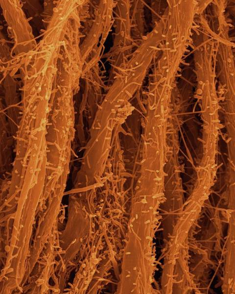 Wall Art - Photograph - Filamentous Iron Oxidizing Bacterium by Dennis Kunkel Microscopy/science Photo Library