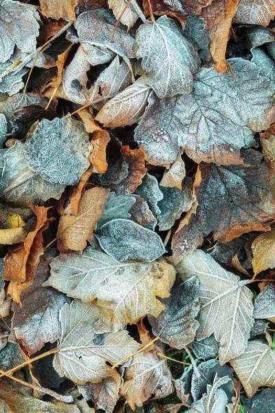 Icy Leaves Wall Art - Photograph - Frosted Leaves by Geoff Kidd