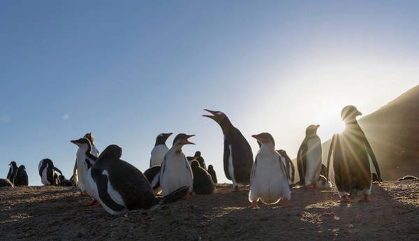 Islas Malvinas Wall Art - Photograph - Gentoo Penguin Falkland Islands by Martin Zwick