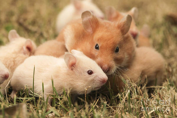Hamster Photograph - Golden Hamster Pet With Young by Alon Meir
