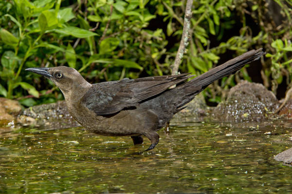 Icterid Photograph - Great-tailed Grackle by Anthony Mercieca