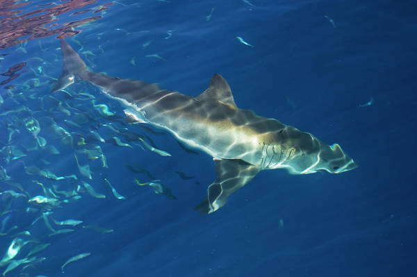 Wall Art - Photograph - Great White Shark by Scubazoo/science Photo Library
