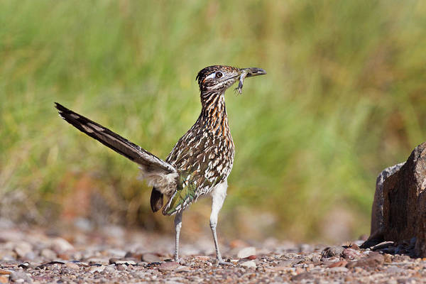 Greater Roadrunner Photograph - Greater Roadrunner (geococcyx by Larry Ditto