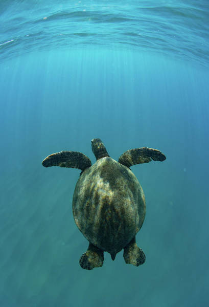Up North Wall Art - Photograph - Green Sea Turtle Swimming by Panoramic Images