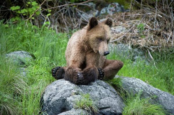 Grizzly Bear Photograph - Grizzly Bear by Dr P. Marazzi/science Photo Library