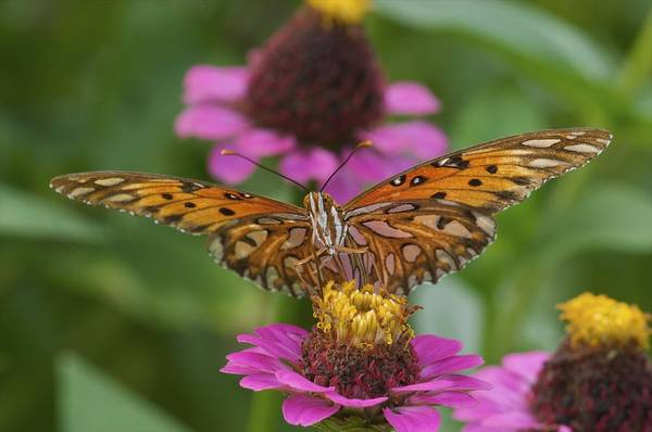 Passion Butterfly Photograph - Gulf Fritillary Butterfly by Byron Jorjorian