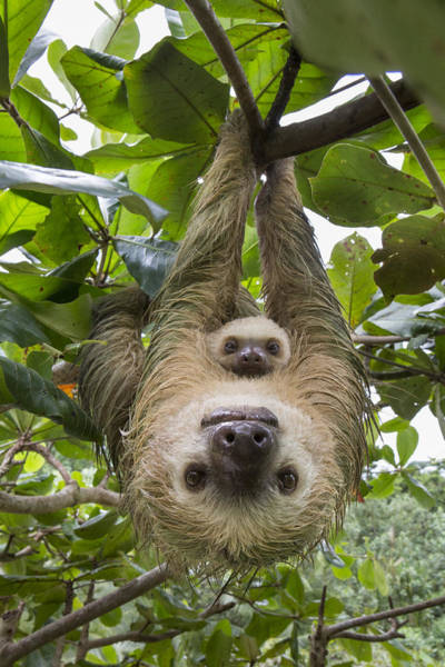 Art Print featuring the photograph Hoffmanns Two-toed Sloth And Old Baby by Suzi Eszterhas