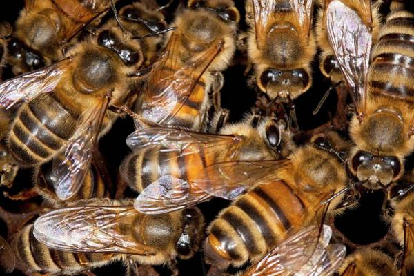 Bee Hive Photograph - Honey Bee Hive by Philippe Psaila/science Photo Library