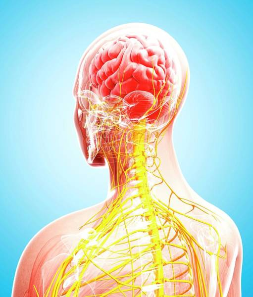Head And Shoulders Photograph - Human Nervous System by Pixologicstudio/science Photo Library