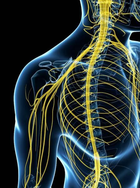 Spinal Cord Photograph - Human Nervous System by Sebastian Kaulitzki