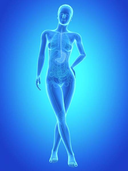 Esophagus Wall Art - Photograph - Human Stomach by Sebastian Kaulitzki