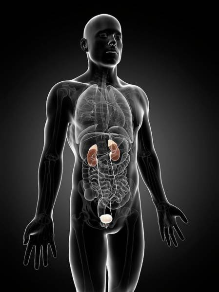 Adrenal Gland Photograph - Human Urinary System by Sebastian Kaulitzki