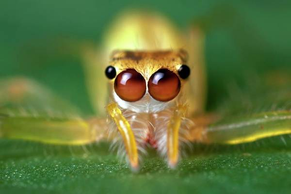 Jumping Photograph - Jumping Spider by Alex Hyde