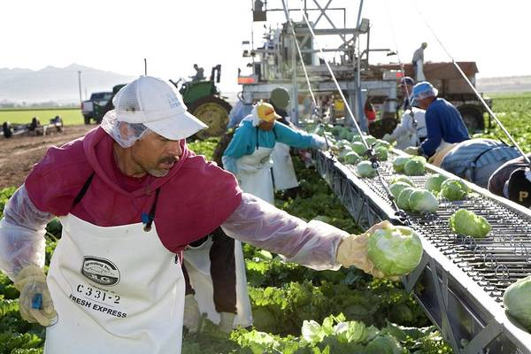 Yuma Photograph - Lettuce Harvest by Jim West