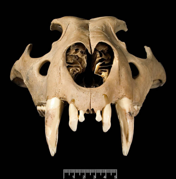 Wall Art - Photograph - Lion Skull by Natural History Museum, London/science Photo Library