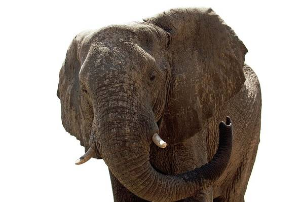 Wall Art - Photograph - Male African Elephant by Dr P. Marazzi/science Photo Library