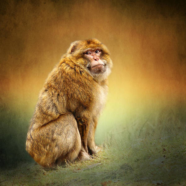 Mammal Mixed Media - Monkey by Heike Hultsch