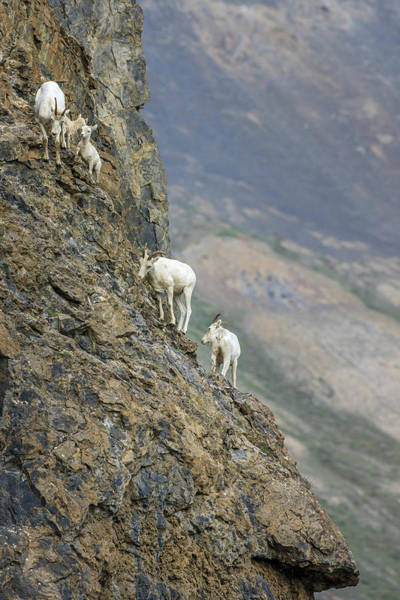 Goat Rocks Photograph - Mountain Goats Along Kongakut River by Tom Norring
