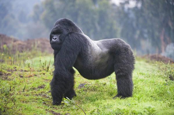 Wall Art - Photograph - Mountain Gorilla Gorilla Beringei by Animal Images