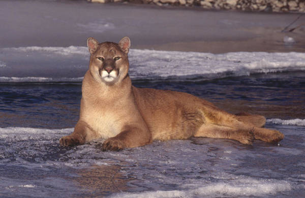 Lion In Winter Photograph - Mountain Lion by Jeffrey Lepore