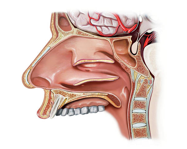 Upper Body Photograph - Nasal Cavity by Asklepios Medical Atlas