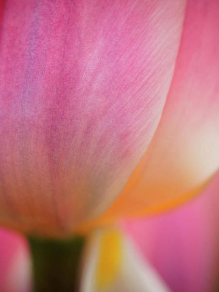 Wall Art - Photograph - Netherlands, Macro Of Colorful Tulip by Terry Eggers