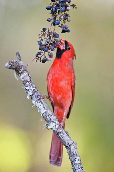 Wild Grape Photograph - Northern Cardinal (cardinalis Cardinalis by Larry Ditto
