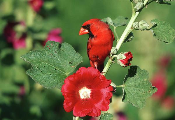 Alcea Photograph - Northern Cardinal (cardinalis Cardinalis by Richard and Susan Day