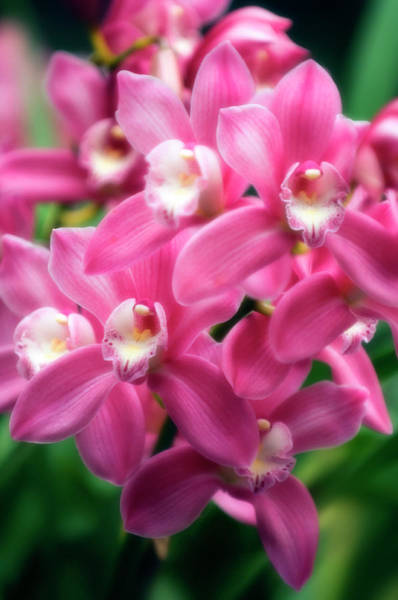 Wall Art - Photograph - Orchid (cymbidium Hybrid) by Maria Mosolova/science Photo Library