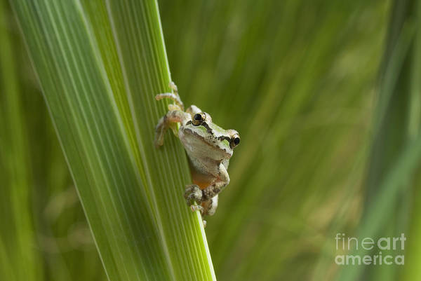 Photograph - Pacific Treefrog by Dan Suzio
