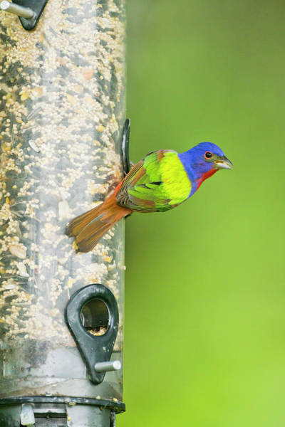 Feeder Photograph - Painted Bunting (passerina Ciris by Larry Ditto