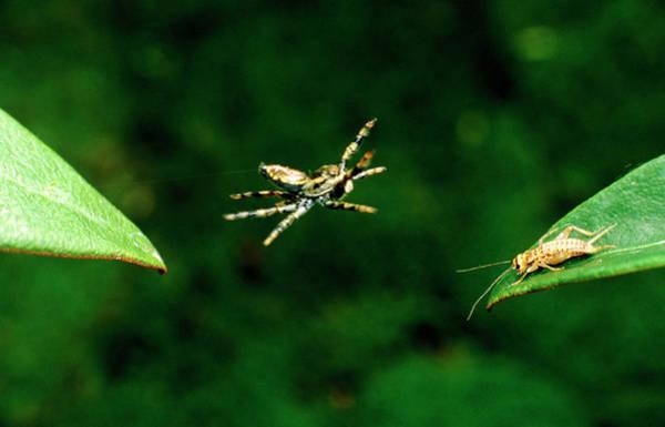 Arachnida Wall Art - Photograph - Panamanian Jumping Spider Attacks Cricket by Martin Dohrn/science Photo Library