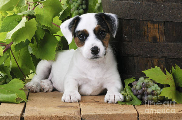 Breed Of Dog Photograph - Parson Russell Terrier Puppy by John Daniels