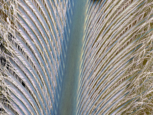Wall Art - Photograph - Penguin Feather by Steve Gschmeissner
