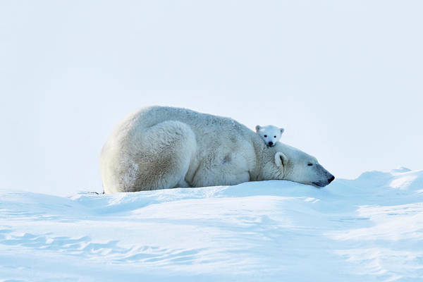Polar Bear Photograph - Polar Bear Mother And Cubs by Dr P. Marazzi