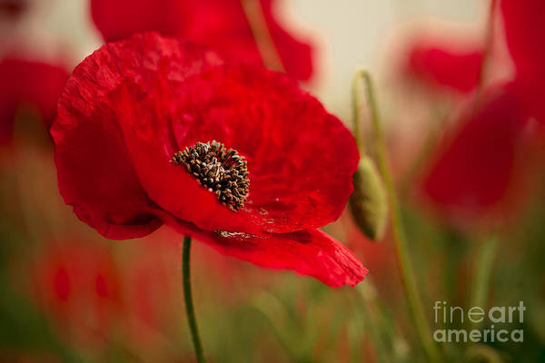 Red Green Photograph - Poppy Dream by Nailia Schwarz