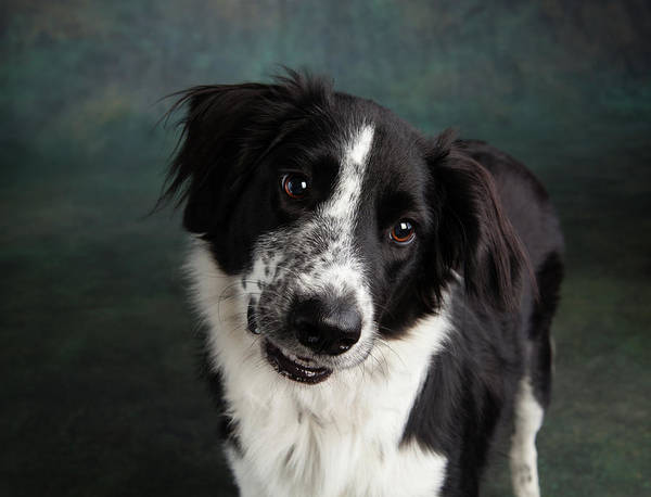 Collie Photograph - Portrait Of A Border Collie Mix Dog by Animal Images