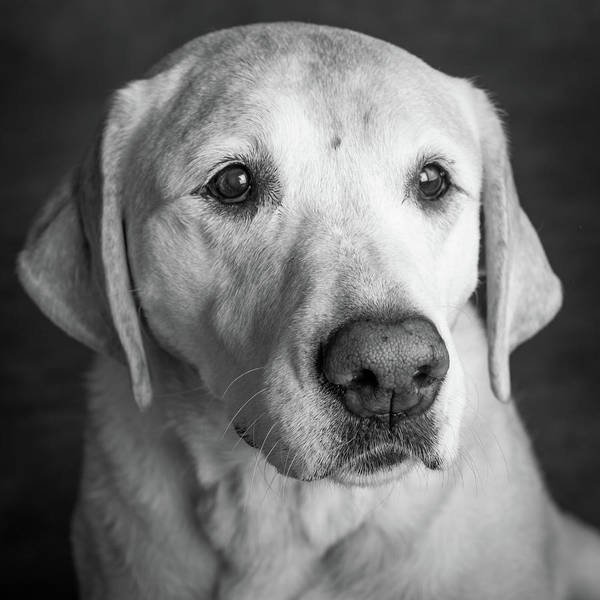 Wall Art - Photograph - Portrait Of A Golden Labrador Dog by Animal Images