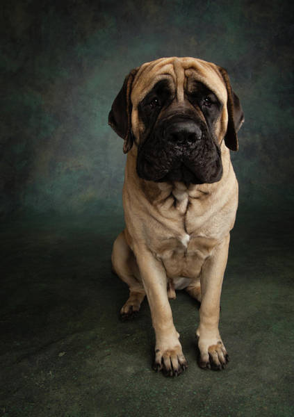 Wall Art - Photograph - Portrait Of A Mastiff by Animal Images