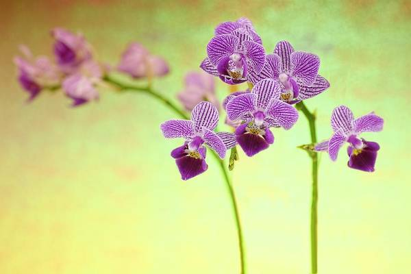 Photograph - Purple Orchid-8 by Rudy Umans