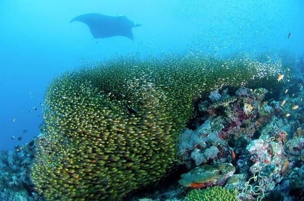 Manta Rays Photograph - Pygmy Sweeper Fish by Scubazoo/science Photo Library