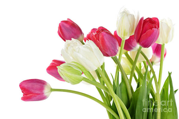 Photograph - Red And White Tulips by Elena Elisseeva