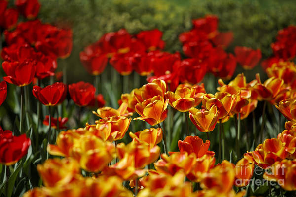 Tulip Flower Photograph - Red And Yellow Tulips by Nailia Schwarz