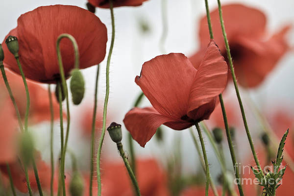 Green Grass Photograph - Red Poppy Flowers by Nailia Schwarz