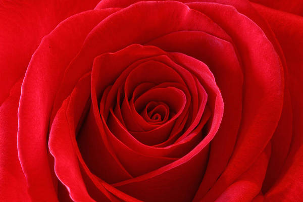 Photograph - Red Rose by Peter Lakomy