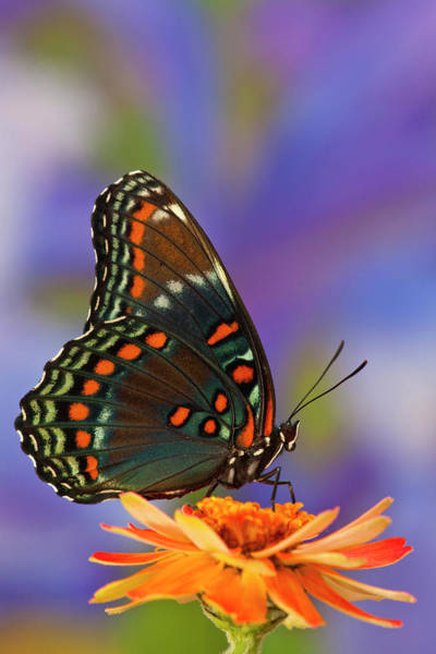 Zinnia Wall Art - Photograph - Red-spotted Purple Butterfly, Limenitis by Darrell Gulin